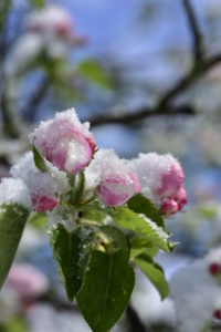 Apple blossom with snow