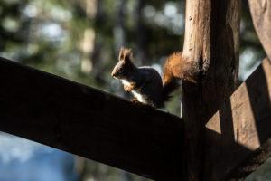 Eichhörnchen sonnt sich auf Geländer