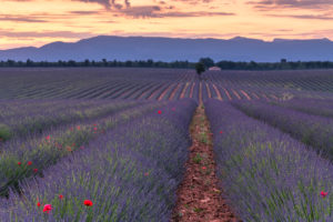 Sunrise over a lavender field at Valensole, Provence, southern France