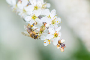 Spring, cherry blossom with honeybee