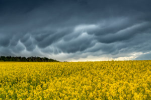 Mammatus clouds after a thunderstorm over a rape field