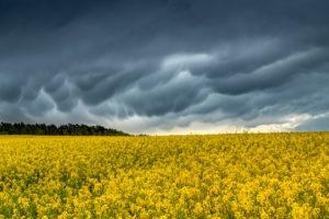 Mammatuswolken nach einem Gewitter über einem Rapsfeld