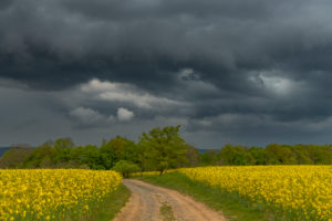 Storm clouds over a rapeseed field with dirt road