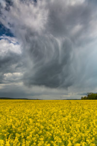 Storm clouds over a rape field