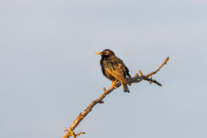 Star in einem Baum bei Sonnenuntergang. Heimische Vögel in Deutschland.