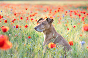 Dog in the poppy field