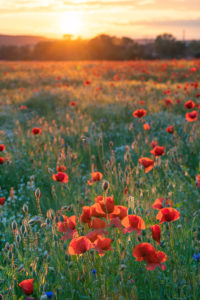 Field of poppies near Jena at sunset.