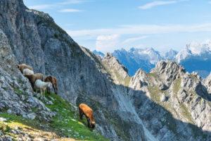 Schafe im Karwendelgebirge bei der Nördlinger Hütte.