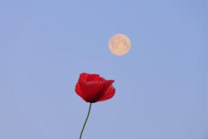 Setting full moon over a poppy blossom.