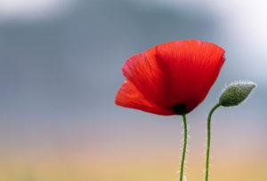 Poppy field in sunrise.