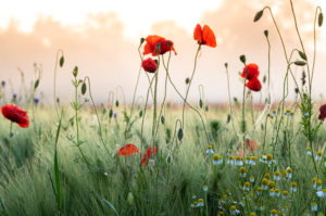 Poppy field in sunrise.