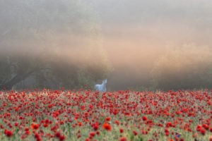 Horse in the poppy field at sunrise.
