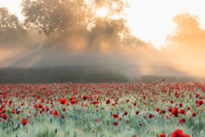 Sunrise with morning mist over a poppy field near Jena in Thuringia.