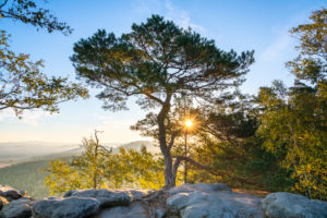 Pine in the Elbe Sandstone Mountains on the Pfaffenstein.