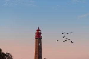 Gänse neben dem Leuchtturm Flügge auf Fehmarn an der Ostsee.