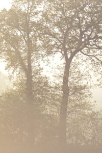 Tree silhouettes in morning mist, oak trees in spring