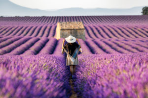 Lavender fields near Valensole in Southern France, Provence, France