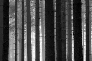 Picea, Mysterious Forest, Spruce Tree Trunks in Backlit and Fog, Europe, Germany, Black Forest, Schonach,