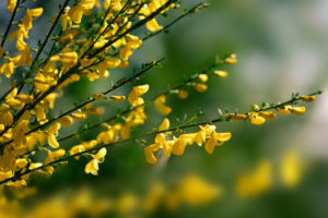 Close-up of Yellow broom bush in Springtime, Europe, Black Forest, Schonach,