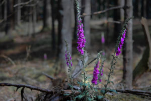Digitalis purpurea, Thimble, Wild,  Flower, Poison, Herbs, Forest, Europe, Germany, Black Forest, Triberg