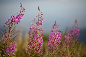 Flowers, wild plants, narrow-leaved willowherb, Epilobium angustifolium