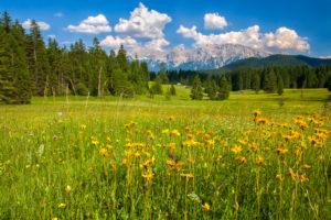 meadow of arnica