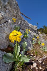 Alpenaurikel, Primula auricula,