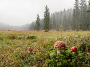 Fly agarics, Amanita muscaria, forest, fog, glade, Wildsee (lake)