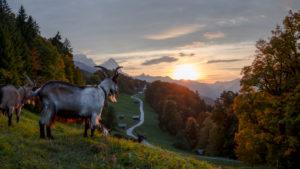 Sunset glow at Wamberg, goats facing sundown, Germany, Bavaria, Garmisch-Partenkirchen, Wamberg municipality