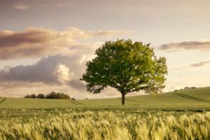Einzelner, blühender Baum inmitten eines blühenden, hügeligen Kornfelds im Frühling. Abendstimmung, schönes Sonnenuntergangslicht. Abziehende Regenwolken