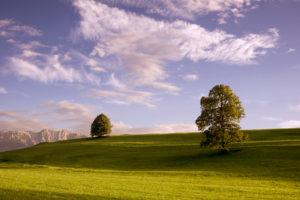 Einzelne Bäume im sommerlichen Voralpenland werden von der untergehenden Sonne angestrahlt, Im Hintergrund die Alpen,