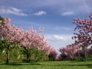 Blossoming almond trees in a green area
