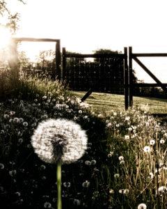 Feld voller Pusteblumen (Löwenzahn) im Gegenlicht mit Gatter