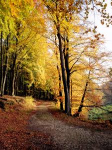 Herbstlicher Buchenwald im Nationalpark Jasmund auf Rügen