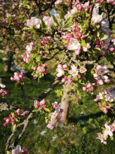 blühender Apfelbaum im oberösterreichischen Mühlviertel