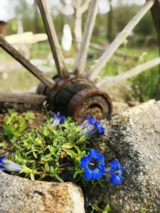 Flowering gentian in the rock garden in Upper Austria's Mühlviertel next to an old wagon wheel