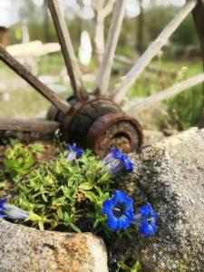 blühender Enzian im oberösterreichischen Mühlviertel im Steingarten neben einem alten Wagenrad