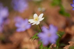 Buschwindröschen, Anemone nemorosa, Nahaufnahme