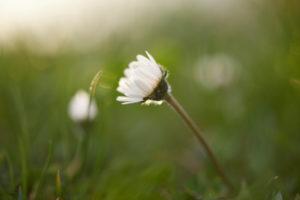 Daisies, Bellis perennis, blossoms, close-up
