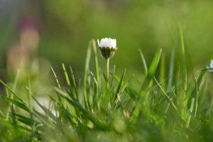 Gänseblümchen, Bellis perennis, Blüte, Wiese, Nahaufnahme