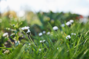 Daisies, Bellis perennis, blossoms, meadow, close-up