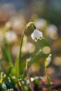 spring snowflake, Leucojum vernum, blossom, close-up,
