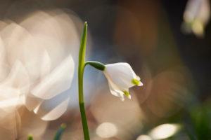 Frühlingsknotenblume, Leucojum vernum, Blüte, Nahaufnahme