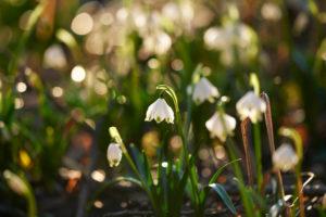 spring snowflake, Leucojum vernum, blossom, close-up,