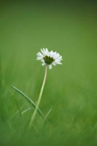 Daisies, Bellis perennis, blossom, close-up