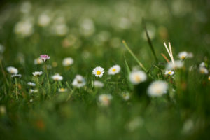 Daisies, Bellis perennis, blossom, close-up