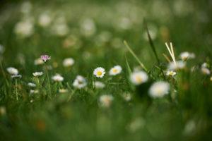 Gänseblümchen, Bellis perennis, Blüte, Nahaufnahme