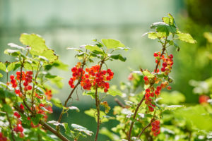 common horsetail or red currant (Ribes rubrum), Germany, Europe