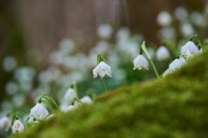 spring snowflake, Leucojum vernum, close-up view