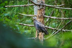Lesser Spotted Eagle, Aquila pomarina, call, side, Bavarian Forest